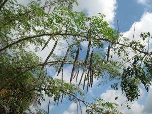 pohonmoringa